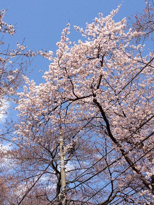 五香の桜(アップ)
