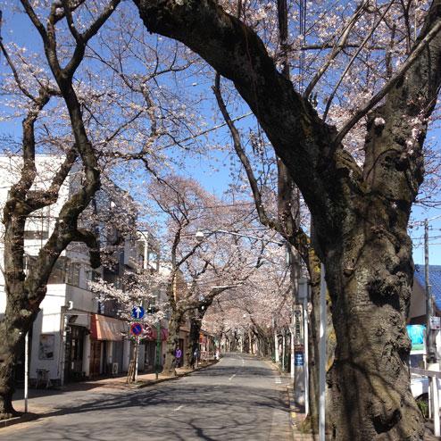五香の桜2013